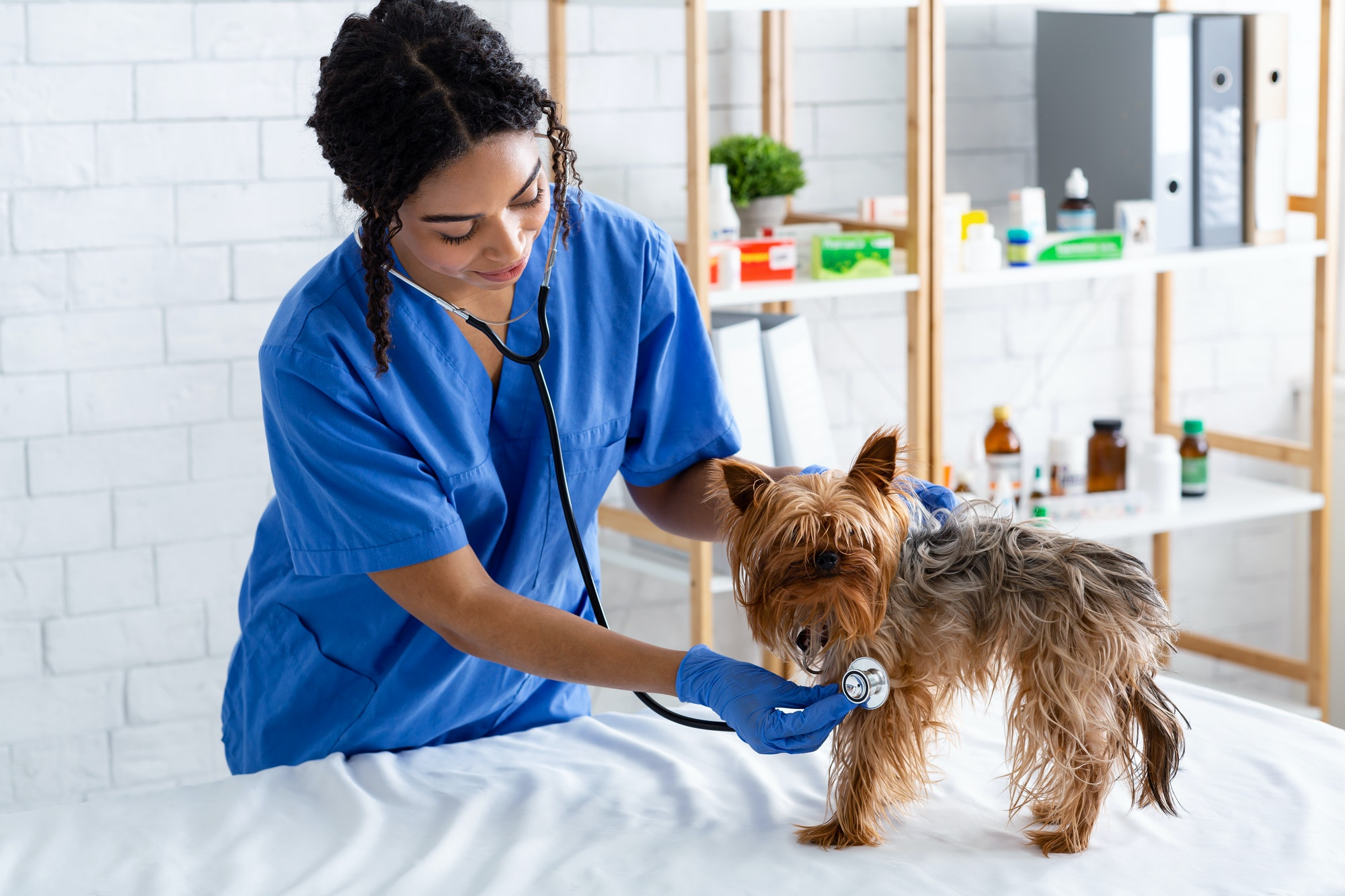 Animal cardiology. African American veterinarian doc checking little dog's heart rate with