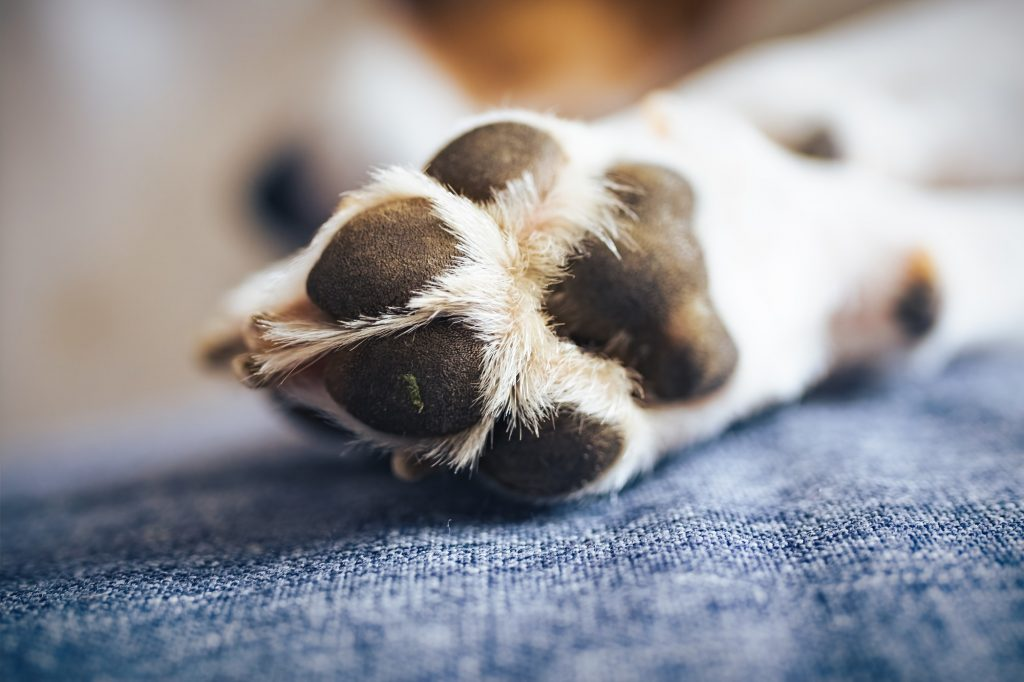 Macro shoot of beagle dog paw feet and nails